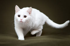 Härlig vit katt med gula ögon arkivfoto