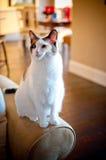 Härlig vit katt på soffan Royaltyfri Fotografi