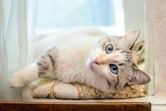 Härlig vit katt som ligger på fönsterbrädan arkivbilder
