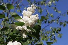 Härlig vit lila i den öppna luften Arkivbild