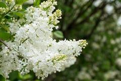 Härlig vit lila i trädgården trädgårds- lila Arkivbild