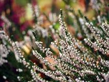 Härlig vit ljung i blomning Arkivbilder