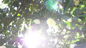 Härlig vit magnoliablomma i vinden i trädgården Sun ljus 4k ultrarapid arkivfilmer