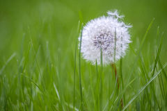 Härlig vit maskros i gräs 1 Arkivfoton