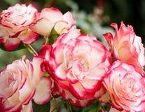 Härlig vit och röda Rosa 'dubbel fröjd', Arkivbild
