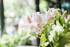 Härlig vit och rosa färgen blommar på en lördag morgon Arkivfoto
