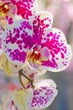 Härlig vit- och rosa färgorkidé Arkivfoto
