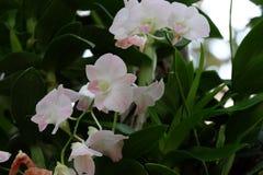 Härlig vit Orchidaceae Arkivbild