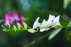 Härlig vit orkidé Fotografering för Bildbyråer