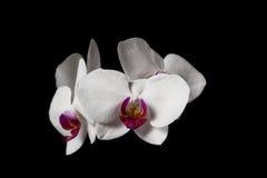 Härlig vit orkidé på svart bakgrund Fotografering för Bildbyråer