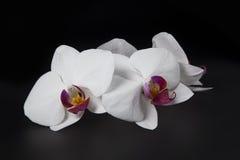 Härlig vit orkidé på svart bakgrund Royaltyfria Bilder