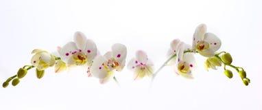 Härlig vit orkidéblomma över vit bakgrund Arkivbilder