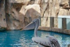 Härlig vit pelikan i zoo, Thailand arkivbilder