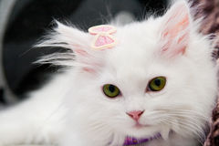 Härlig vit persisk katt Arkivbilder