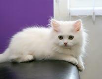 Härlig vit persisk kattunge Arkivbild