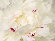 Härlig vit pionblommamitt Royaltyfria Bilder