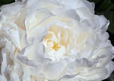 Härlig vit pionblomning Arkivfoto