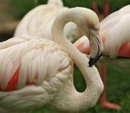 Härlig vit-rosa färger flamingo i natur på den suddiga bakgrunden royaltyfri bild
