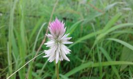 Härlig vit rosa färggräsblomma Royaltyfri Bild