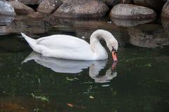 Härlig vit svan i dammet med stenar Fotografering för Bildbyråer
