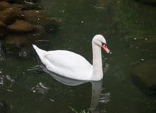 Härlig vit svan i dammet med stenar Royaltyfri Fotografi