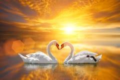 Härlig vit svan i hjärtaform på sjösolnedgång Arkivfoton