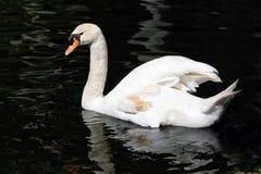 Härlig vit svan i simning i svart vatten arkivfoton