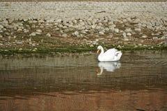Härlig vit svan med röd näbbsimning i sjön arkivfoto