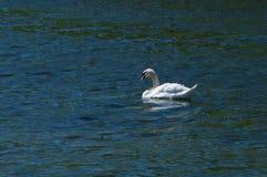 Härlig vit svan på vattenbakgrunden Realistisk bild Arkivbild