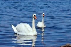 Härlig vit svan två Arkivfoton