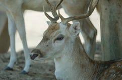 Härlig vit svans Fawn Deer Royaltyfria Foton