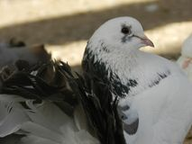 Härlig vit svart duva i zooträdgården royaltyfri fotografi