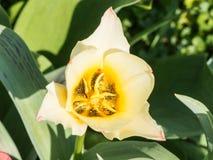 H?rlig vit tulipin tr?dg?rden fotografering för bildbyråer