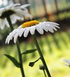 Härlig vit tusensköna med droppar av dagg Fotografering för Bildbyråer