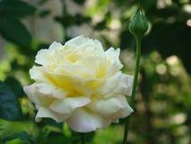 Härlig vitros på blomsterrabatten Royaltyfri Fotografi