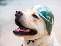 Härlig vuxen guld- labrador hund i militär hjälm Le för vovve Honom ` s som känner sig varm på sommar Utbildad krighund royaltyfria foton