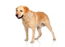 Härlig vuxen människa för Labrador retriever Arkivfoton