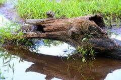 Härlig vuxen mink som klibbar hennes huvud ut ur en journal Fotografering för Bildbyråer