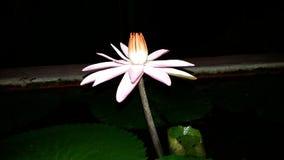 Härlig waterlily blomma på natten royaltyfria foton