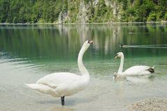 härlig white för swan för familjlakelandskap arkivbilder