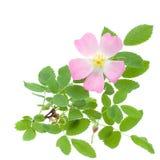 härlig wild greenleavesrose Royaltyfri Bild