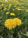 härlig yellow för blommor två Arkivfoton