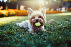 Härlig yorkshire terrier som spelar med en boll på ett gräs Royaltyfria Bilder