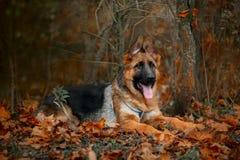 Härlig yttre utomhus- stående av den unga hunden för tysk herde royaltyfria bilder