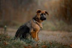 Härlig yttre utomhus- stående av den unga hunden för tysk herde arkivfoton