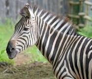 Härlig zebra& x27; s-huvud Arkivbilder