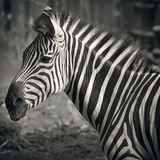 Härlig zebra& x27; s-huvud Royaltyfri Fotografi