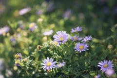Härlig Zinniablomma som blommar på jordningen Royaltyfri Bild