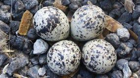 Härliga ägg av den RÖDA WATTLED-VIPAN Royaltyfria Foton