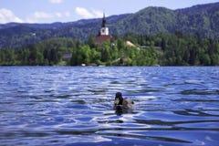 H?rliga ?nder simmar p? den bl?dde sj?n, Slovenien Vattenf?geln vilar, simmar i sj?n mot bakgrunden av slotten p? ?n arkivfoto